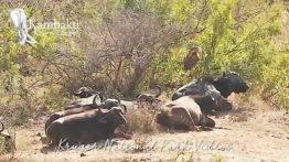 حیات وحش و کمین جالب شیر نر در چند متری گله بوفالو