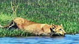 شکار شیر و پلنگ در حیات وحش