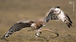 صحنه های مبارزه و شکار حیات وحش (1)
