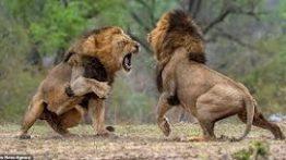مبارزه خونین شیرشیرهای نر Battle of the male lions