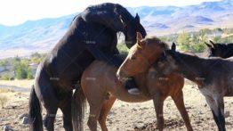 Horse mating – جفت گیری اسب
