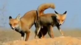 Mating the fox and locking the male fox with the female fox