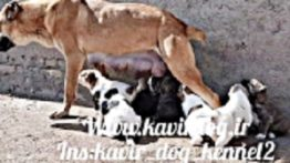 Original Khorasani Puppies