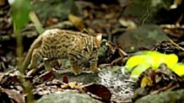 The world's smallest cat