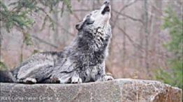 animal-world-beautiful-black-wolf-howling