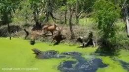 حمله سگ ها به کروکودیل غول پیکر مستند حیات وحش