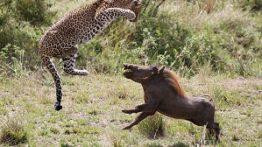 حمله گراز وحشی به شیر ، ببر و دیگر حیوانات وحشی