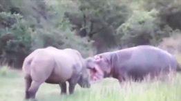 حیات وحش، نبردهای سهمگین کرگدن در مقابل شیرها