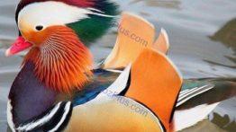 زیباترین اردک های جهان