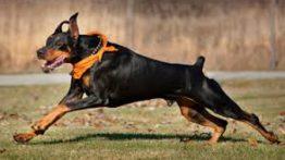 سگ جنگ دوبرمن