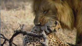 شکار غزال توسط شیر