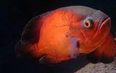 شکار ماهی قرمز توسط ماهی اسکار