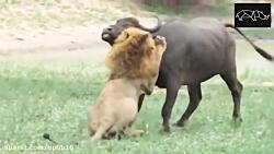 شیر به بوفالو حمله می کند – مجموعه حمله حیوانات