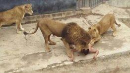 شیر , حمله شیر ,حمله حیوانات