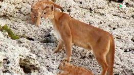 مستند حیات وحش تلاش پوما (شیر کوهی) برای شکار لاما