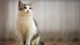 پرش گربه