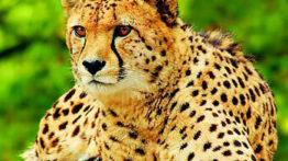 یوزپلنگ یکی از خطرناک ترین شکارچیان حیات وحش