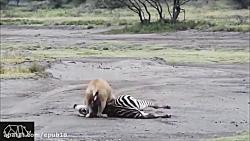 Horse and Crocodile Fight – Wild Animal Attack
