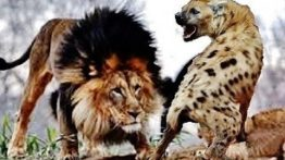 War and battle of hyenas in wildlife and animal hunting