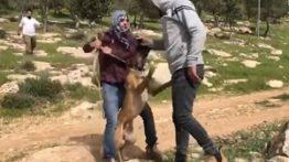 استفاده کفتارها از سگوحشی برای حمله به فلسطینیان