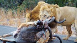 تلاش شیر نر برای شکار گوزن کودو در جاده