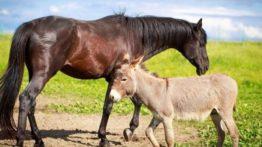 جفت گیری خر با اسب
