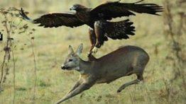 حمله عقاب به حیوانات بزرگ