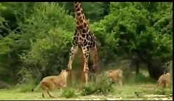 حمله گله شیرهای درنده به یک زرافه غول پیکر