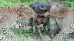 خلق دردناک ترین صحنه های حیات وحش توسط شیر،پلنگ،سگ وحشی