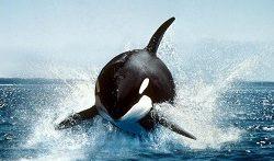دنیای حیوانات تولید مثل نهنگ های جنوبی