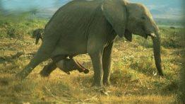 زایمان فیل