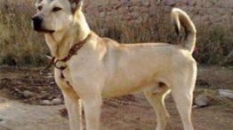 سگ سرابی خوشکل و هیکل دار