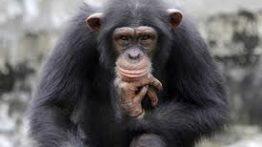 شکار و خورده شدن میمون توسط شامپانزه ها