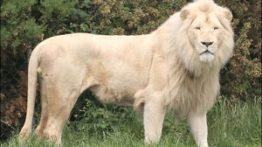 شکار گوزن یالدار توسط شیر سفید