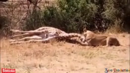 قدرت شگفت انگیز شیرها در بین حیوانات