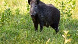 میوه خوردن خوک