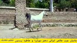 اسب عرب مادیان خالص ایرانی