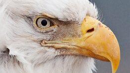 بهترین-لحظات-عقاب-ها-حین-شکار-در-حیات-وحش