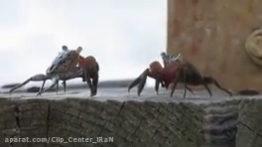 جفتگیری خرچنگ