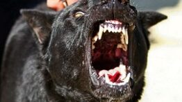 حمله ترسناک و وحشتناک سگها به یکدیگر
