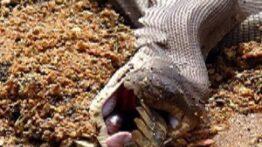 حیات وحش، شکار شدن مارمولک توسط مار