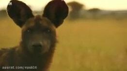 دفاع شیرها از توله های خود در برابر جگوارهای وحشی