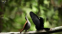 رقص زیبای پرندگان برای جلب توجه جفت