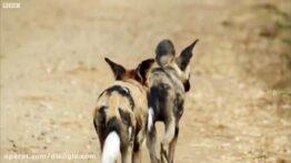 وفاداری و حمایت سگ وحشی از جفت و همسر خود