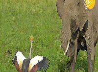 جنگ جالب درنا با فیل