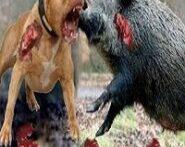 جنگ-حیوانات-اهلی-وحشی-2-185×185