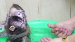 حمام-کردن-بچه-میمون-های-بازیگوش-300×300