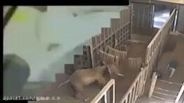 حمله وحشتناک حیوانات وحشی به انسان ها از شیر وکرگدن تا مارو کرکودیل