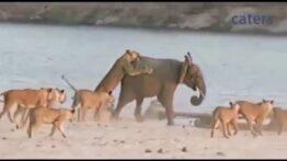 حمله 14 شیر به یک فیل جوان