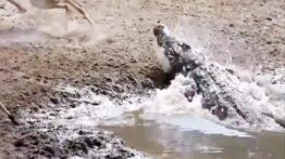 حیات وحش، حملات وحشیانه کروکودیل به شکار